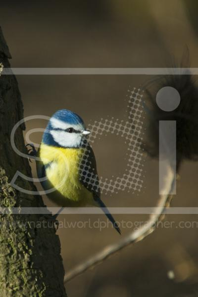 Blue Tit Perching