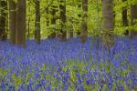 Beech Wood and Bluebells