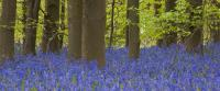 Bluebell Panoramic