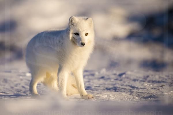 Wind-Blown Arctic Fox