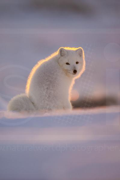 Back-Lit Arctic Fox
